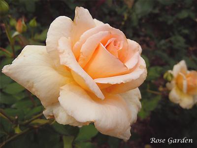 バラ(薔薇):アプリコット ネクター