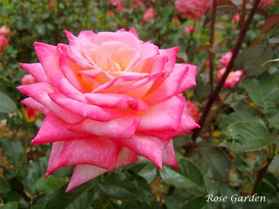 バラ(薔薇):コルデス パーフェクタ