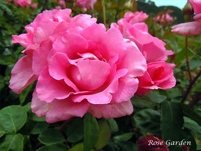 バラ(薔薇):ザ マッカートニー ローズ