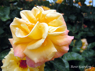 バラ(薔薇):モナリザ