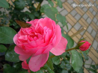 バラ(薔薇):レオナルド ダ ビンチ