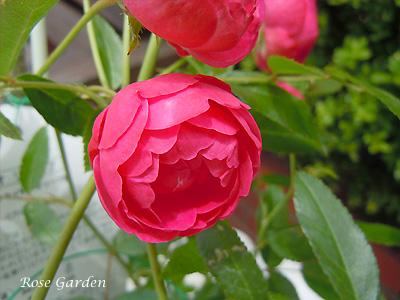 バラ(薔薇):ディック コスター