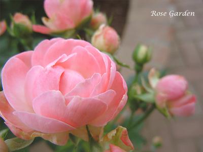 バラ(薔薇):マルゴ コスター