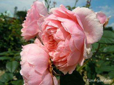 バラ(薔薇):アルンウィック キャッスル