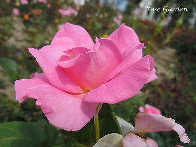 バラ(薔薇):エレガント ストーク
