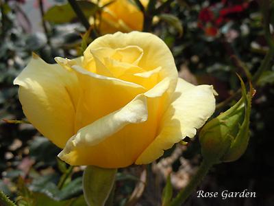 バラ(薔薇):ヘルムット シュミット