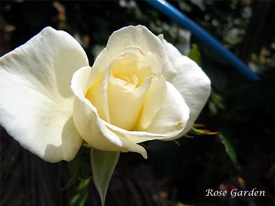 バラ(薔薇):ホワイト マジック