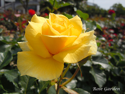 バラ(薔薇):サン フレーア