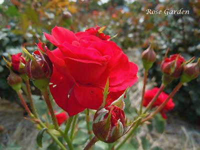 バラ(薔薇):ニナ ウェイブル