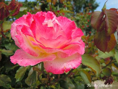 バラ(薔薇):ダブル ディライト