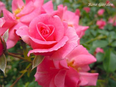 バラ(薔薇):ミラト