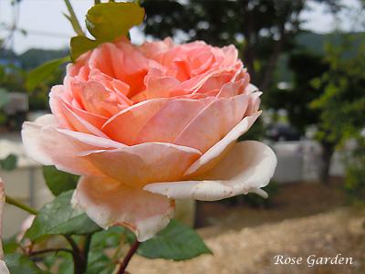 バラ(薔薇):アブラハム ダービー