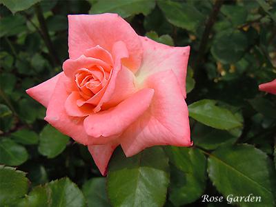 バラ(薔薇):ソニア
