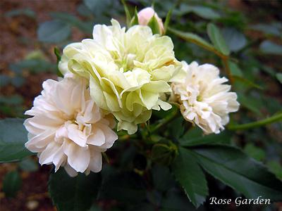 バラ(薔薇):グリーン アイス