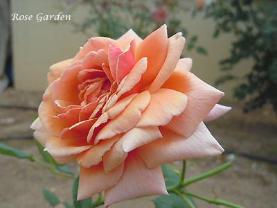 バラ(薔薇):トム ブラウン