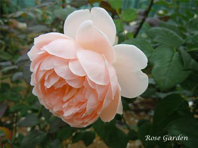 バラ(薔薇):イレーヌ ワッツ