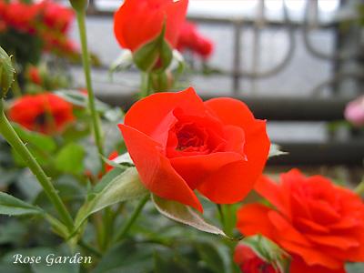 バラ(薔薇):オレンジ メイアンディナ