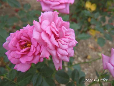 バラ(薔薇):ラベンダー メイアンディナ