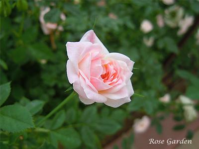 バラ(薔薇):エアー フランス メイアンディナ
