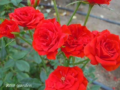 バラ(薔薇):フレミング ロザミニ