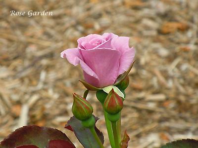 バラ(薔薇):たそがれ
