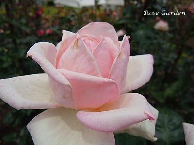 バラ(薔薇):ファースト プライズ