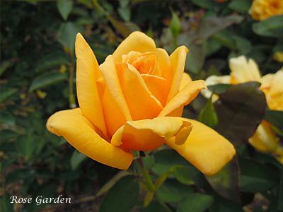 バラ(薔薇):サン キング