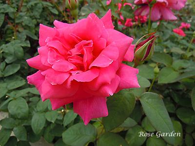 バラ(薔薇):シャーロット アームストロング