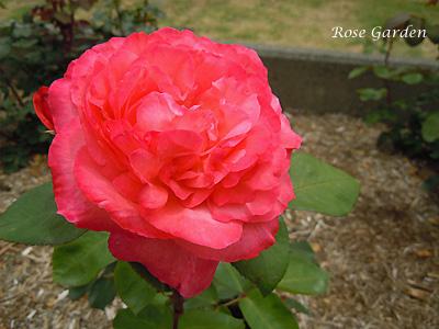 バラ(薔薇):ピンク パンサー