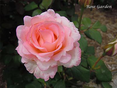 バラ(薔薇):ベラミ