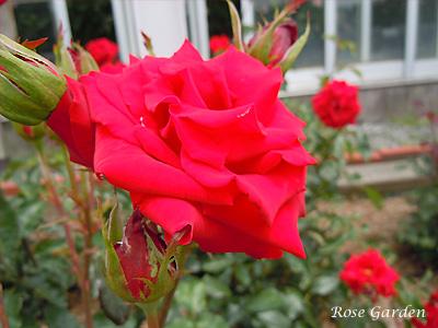 バラ(薔薇):ローテ ローゼ