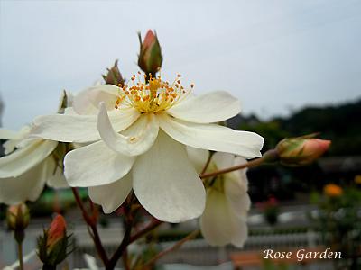 バラ(薔薇):スノー グース