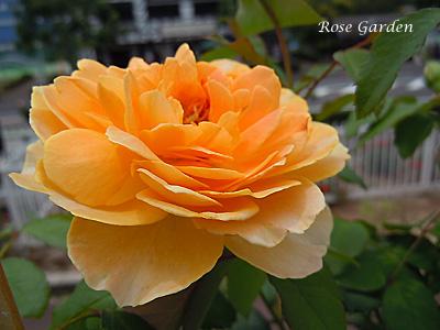 バラ(薔薇):モリニュー