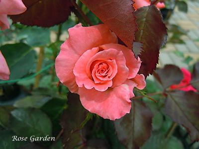 バラ(薔薇):チェリッシュ