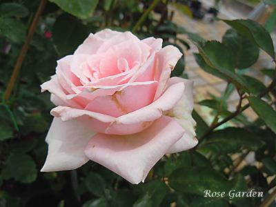 バラ(薔薇):ロイヤル ハイネス