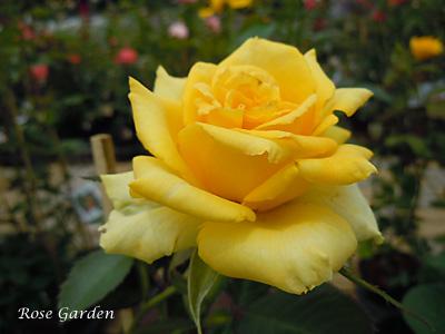 バラ(薔薇):ファルツァー ゴールド