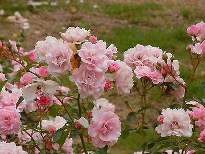 バラ(薔薇):ボニカ'82