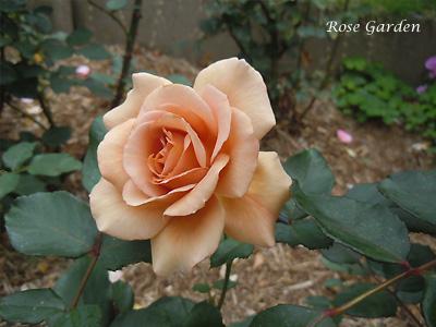 バラ(薔薇):ジュリア