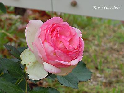 バラ(薔薇):ピエール ドゥ ロンサール