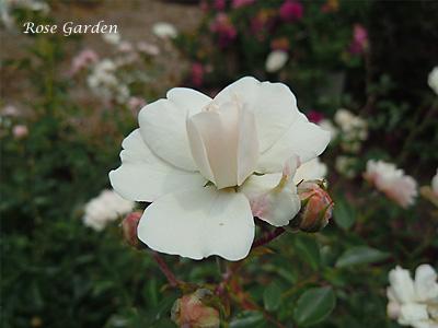バラ(薔薇):シー フォーム
