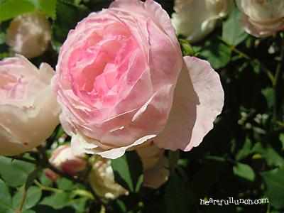 バラ(薔薇):マダム ピエール オジェ