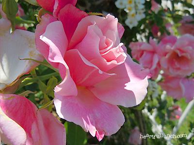 バラ(薔薇):スパニッシュ ビューティ