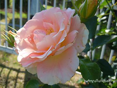 バラ(薔薇):ロココ