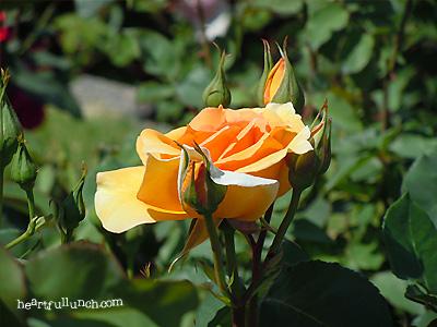 バラ(薔薇):マダム シャルル ソバージュ