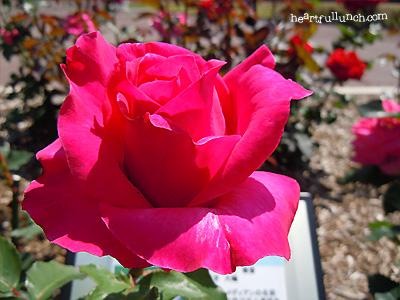 バラ(薔薇):ピーター フランケンフェルト