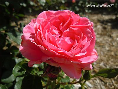 バラ(薔薇):マガリ