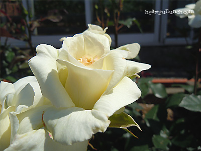 バラ(薔薇):白鳥