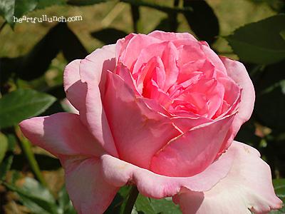 バラ(薔薇):ティノ ロッシ