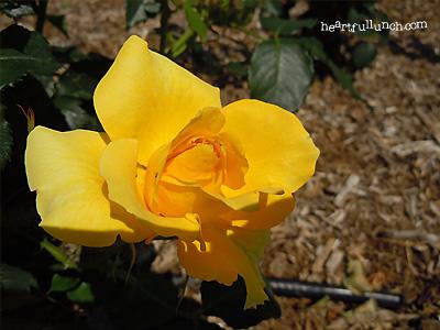 バラ(薔薇):黄金