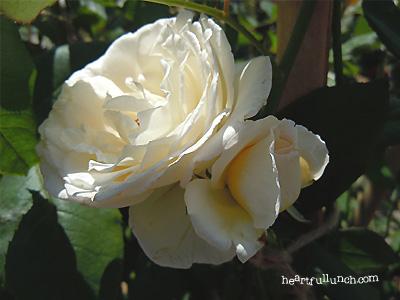 バラ(薔薇):薫乃